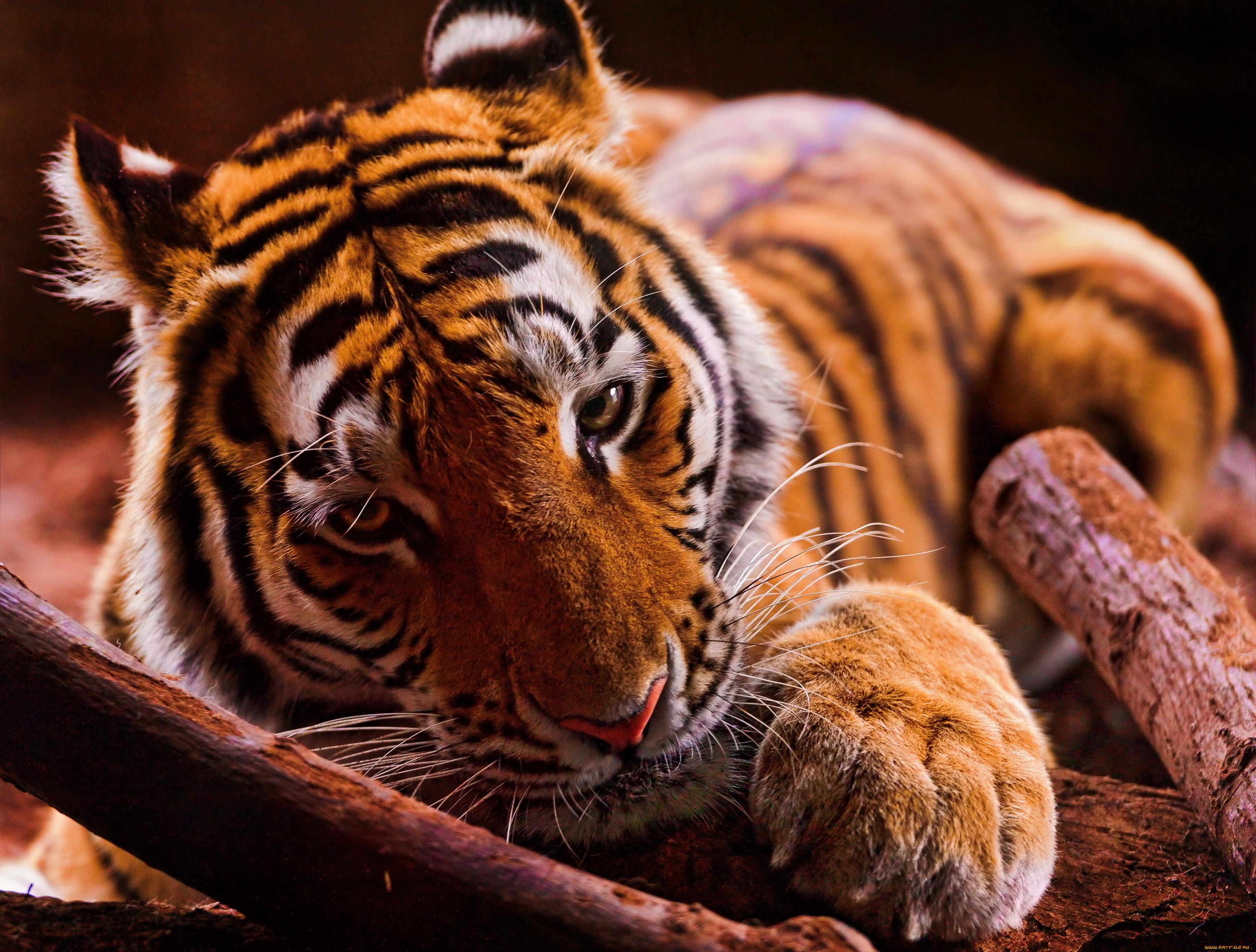 Красивые картинки тигров для рабочего стола